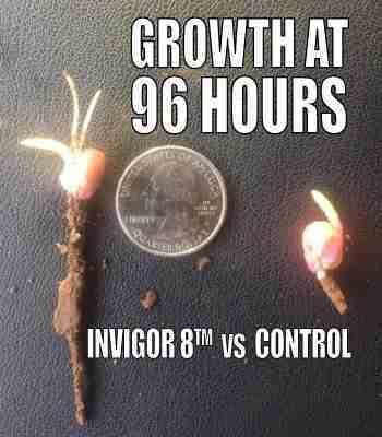 corn seed 96 hours 400h