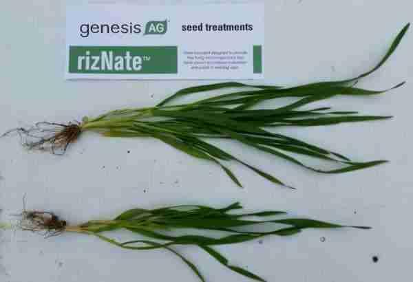 small grain program RizNate