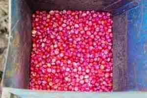 corn seed treatment