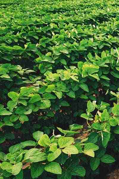 Immerse soybeans