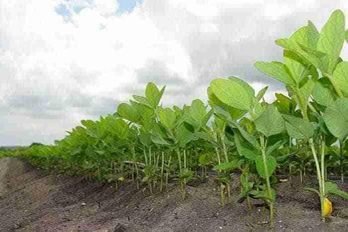soybean overlay