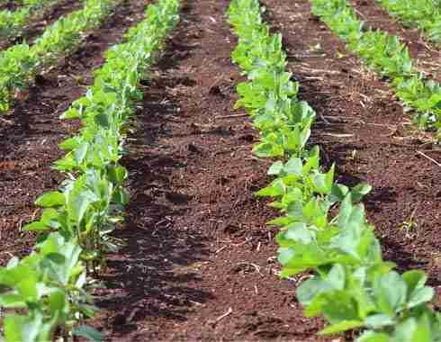 soybeans fertilizer