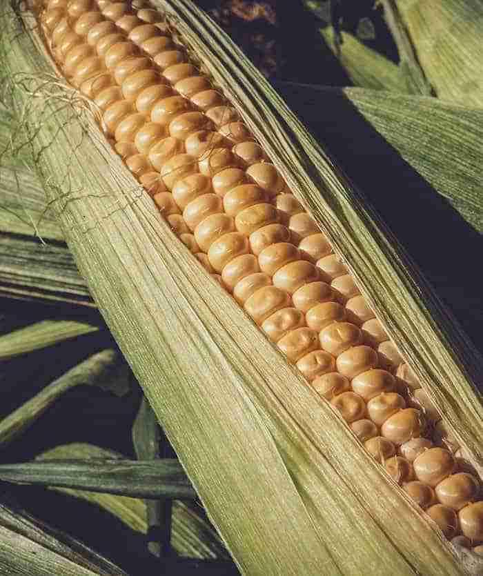 genesis ag corn 1