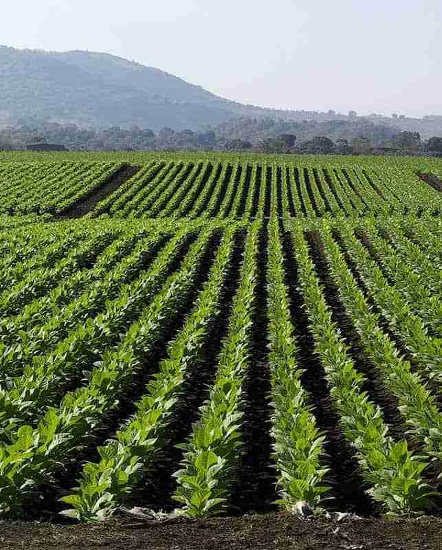 tobacco crop 1