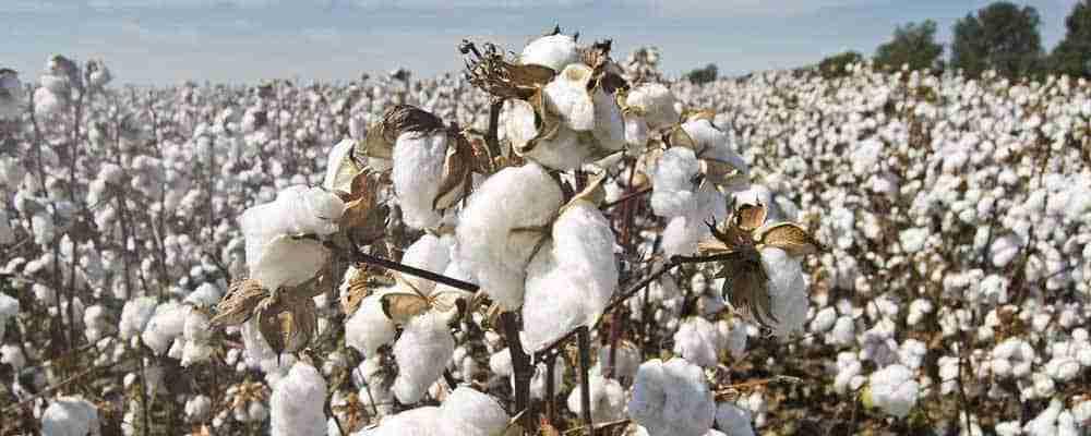cotton thank you
