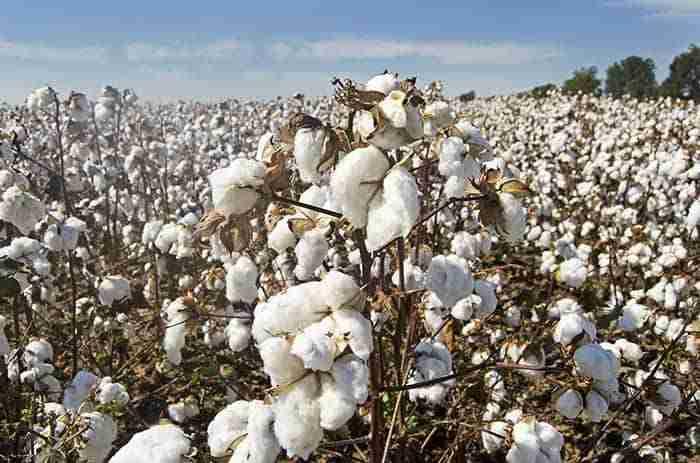 cotton-trials-genesis.ag